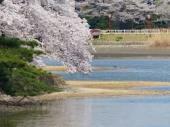 五百淵公園の桜.jpeg
