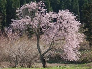 千手院の種蒔桜.jpg