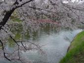 酒蓋公園の桜.jpeg