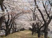 開成山の桜jpeg.jpeg