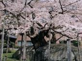 石割桜.jpeg