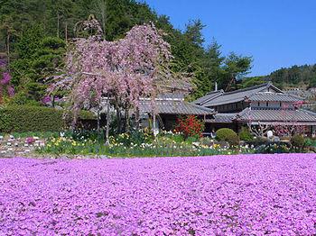 芝桜専門庭園 花のじゅうたん1.jpg