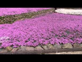 芝桜専門庭園 花のじゅうたん2.jpg